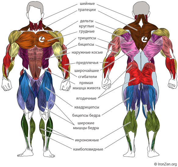 Схема мышц