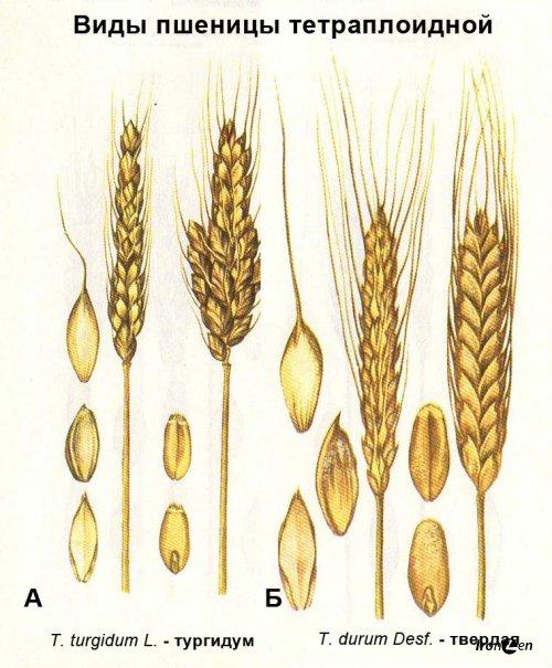 Пищевые отличия мягких и твердых сортов пшеницы